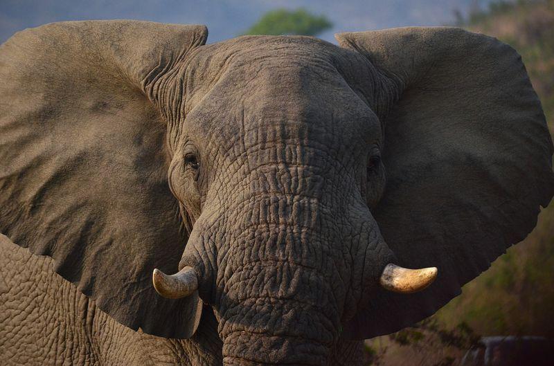 Der größte Markt für Elfenbeinhandel will den Verkauf verbieten