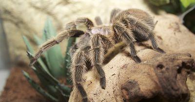 Spinne sorgt für Ehekrise