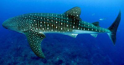 Herzlos: Das machen Männer, als sie seltenen Walhai entdecken