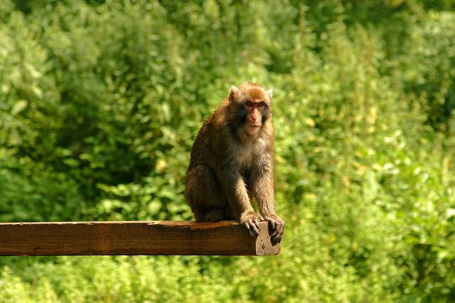 Forscher beobachten Affen bei ungewöhnlichem Akt