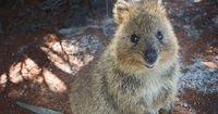 Australische Polizei fahndet nach verloren gegangenem Nager