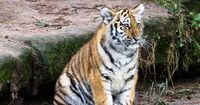 Tiger-Baby wird in einem deutschen Wohnhaus großgezogen