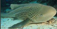 Mysteriöser Vorfall: Hai-Weibchen bekommt ohne Männchen Nachwuchs