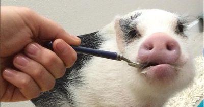 Deshalb wurde dieses Schwein zum Internet-Star