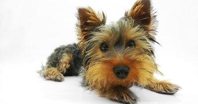 """Neuer Trend aus den USA jetzt auch in Deutschland: """"Designerhunde"""""""