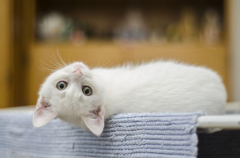 Mit diesen Problemen haben fast alle weiße Katzen zu kämpfen