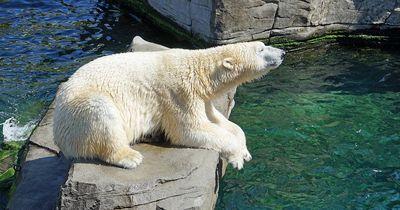 So schlecht geht es den Eisbären in deutschen Zoos