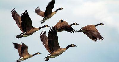 Rund 70.000 Vögel mussten für Flugzeuge sterben