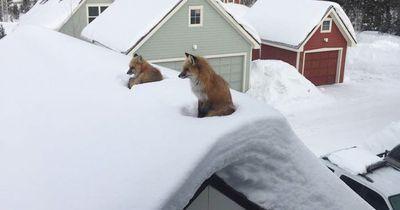 Er entdeckte zwei Füchse auf seinem Dach