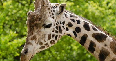 Diese weiße Giraffe verzaubert das Internet