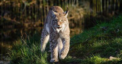 Luchs bricht aus Gelsenkirchener Zoo aus