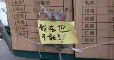 Chinesen demütigen und quälen Ratte...