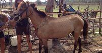 Diese Pferde leiden extrem für Touristen