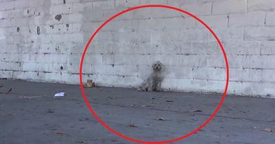 Am Straßenrand saß ein angefahrener Pudel, dem niemand helfen wollte