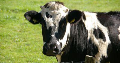 Erschreckende Aufnahmen aus einem Milch-Hof aufgetaucht