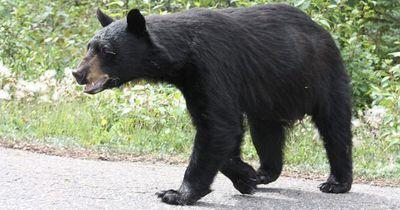 Als der Schwarzbär auf sie zurennt, ergreifen sie die Flucht