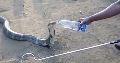 Kobra nimmt einen Schluck Wasser