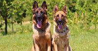Diese Hunde helfen bei der Bekämpfung von Brustkrebs