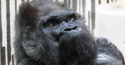 Dieser Gorilla kann Unglaubliches!
