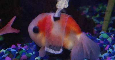 Mann baut Rollstuhl für einen Goldfisch