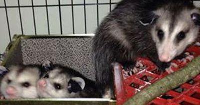 Diese Opossum-Waisen sollten zurück in die Natur