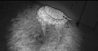 In diesem Video bringt eine Giraffe ihr Baby zur Welt