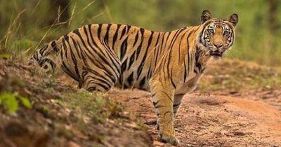 Erstaunlich: Kleine Tigerpopulation entdeckt