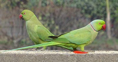 Das Begrüßungsritual dieser zwei Papageien-Freunde ist zum Totlachen