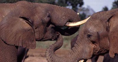 Endlich gibt es gute Nachrichten für Elefanten