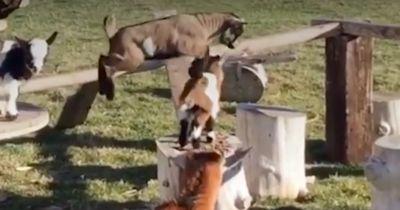 Diese Ziegen sind Meister auf dem Parcours