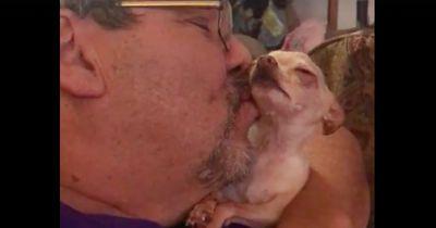 Dieser Chihuahua kann nicht genug Küsse kriegen