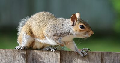 Dieses süße Eichhörnchen isst jeden Tag Eis