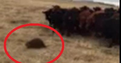 Dieser Bieber hütet ein Herde von Kühen