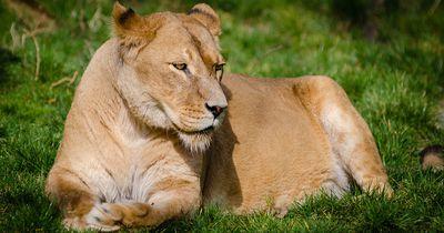 Was er mit diesem Löwen-Baby macht lässt dir das Blut in den Adern gefrieren