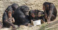 Rührende Wiederbegegnung mit einem Schimpansen