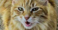 Deshalb miauen Katzen