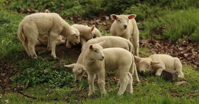Unglaublich: Lamm-Frühchen überlebt in künstlicher Gebärmutter