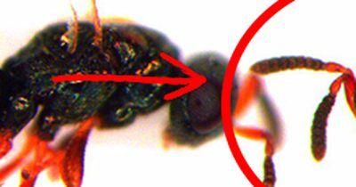 Genetiker kreieren Mutanten-Insekt