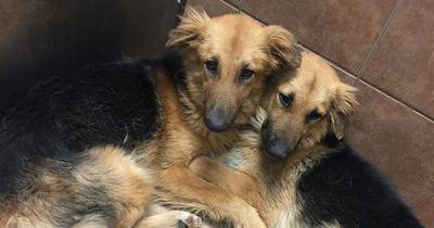 Diese beiden Schäferhunde haben panische Angst...