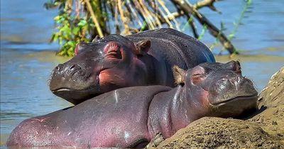 Diese Baby-Hippos werden dich begeistern!