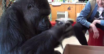 Das bekommt der Gorilla Koko zum Geburtstag