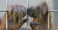 Dieser extrem seltene Orang-Utan wurde von Dorfbewohnern gefangen