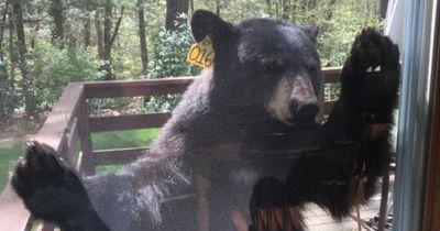 Dieser Bär ist verrückt nach Brownies