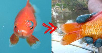 Das passiert, wenn du deinen Goldfisch freilässt!