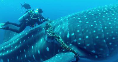 Taucher retten riesigen Walhai