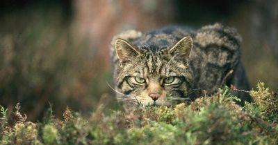 Das ist die Zukunft der Schottischen Wildkatze