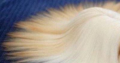 Dieses Meerschweinchen hat schönere Haare als du!