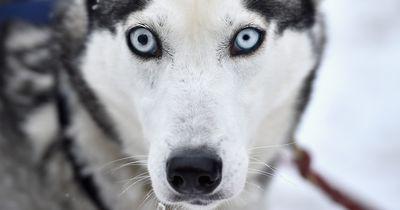 Diebischer Husky belustigt das Internet