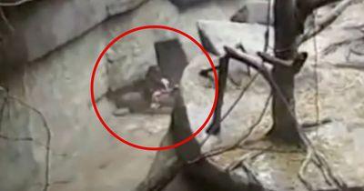 Ein kleines Kind fällt in das Gorillagehege. Doch was dann passiert, hat niemand kommen sehen.