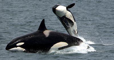 Willkommen im ersten Altersheim für Killerwale!